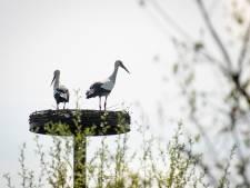 Ooievaarskuiken doodgeschoten in De Wijk, broertje of zusje spoorloos
