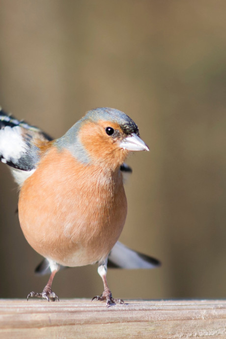 Vink meest gevinkt tijdens Tuinvogeltelling in Gouda