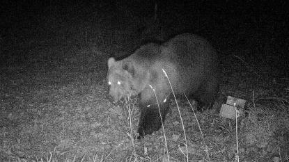 Wilde bruine beer duikt op in Duitsland