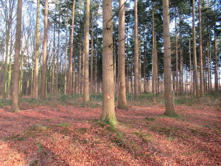 De bomen in Ryckevelde zijn gehamerd, 2.500 in totaal.