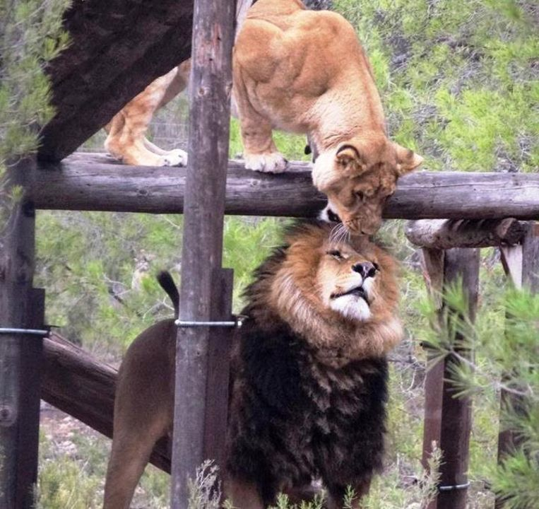 Leeuw Zazu en zijn vrouwtje Aissa zullen in de toekomst onderdak krijgen in De Zonnegloed.