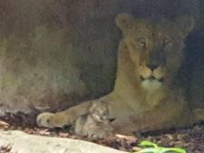 Babygeluk: twee leeuwenwelpjes geboren in Burgers' Zoo