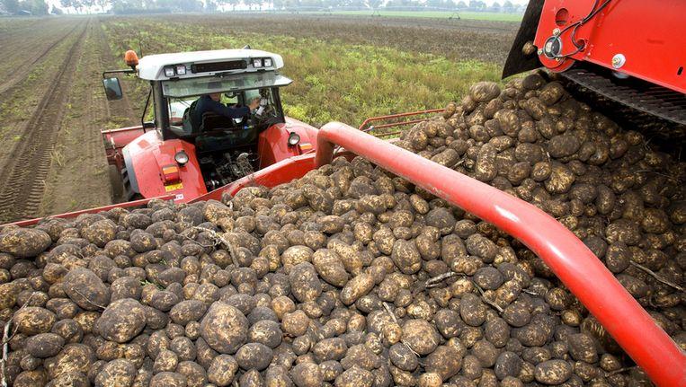 Door het knutselen met genen kan de aardappel gewapend worden tegen gevaarlijke ziektes. Beeld ANP