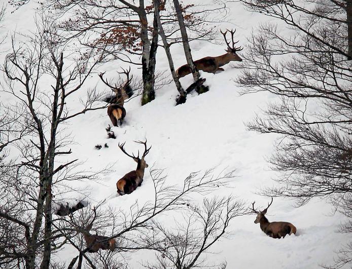 Een roedel wilde herten loopt over de met sneeuw bedekte heuvels van de San Isidro-bergpas in Oviedo in het noorden van Spanje. Foto J.L. Cereijido