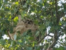 Provincie haalt nest van Aziatische hoornaar deze week weg