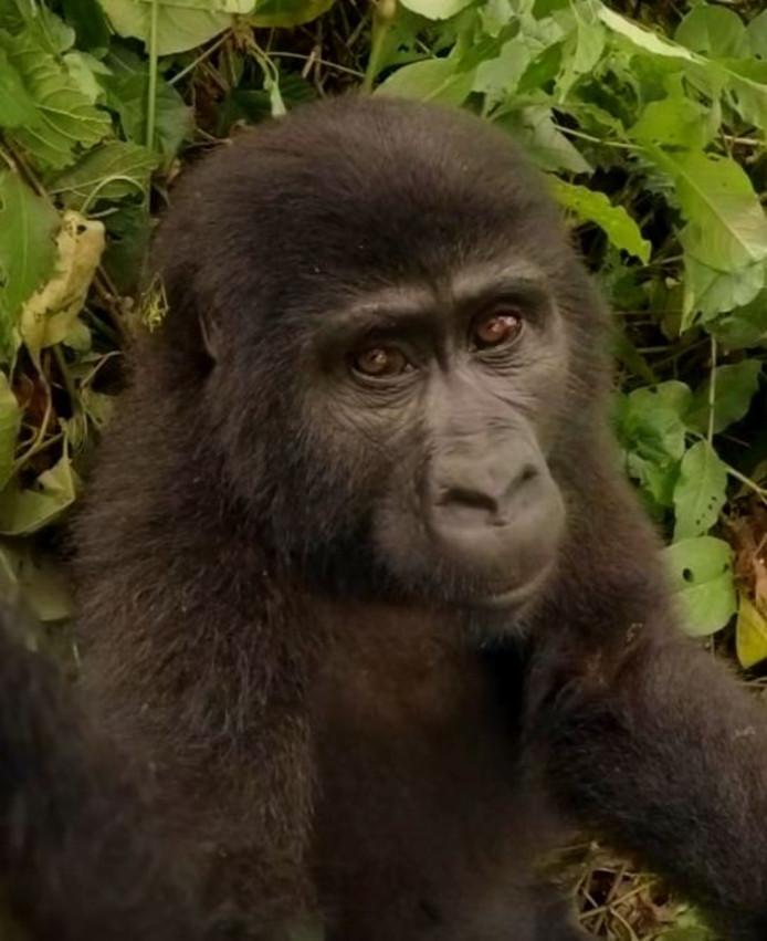 Gorilla maakt selfie