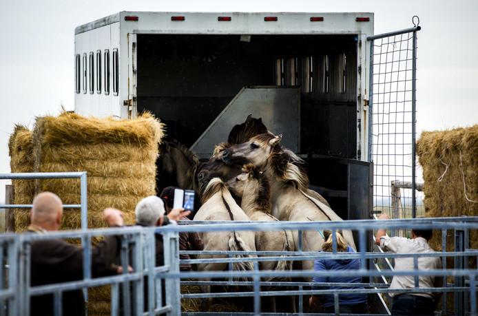 Konikpaarden bij vertrek uit de Oostvaardersplassen.