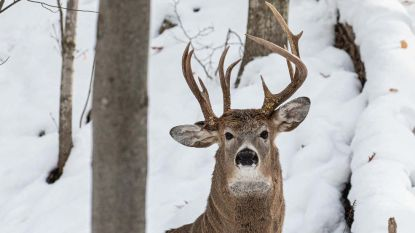 """""""Kans van 1 op 1 miljoen"""": fotograaf legt uiterst zeldzaam hert met drie geweien vast"""