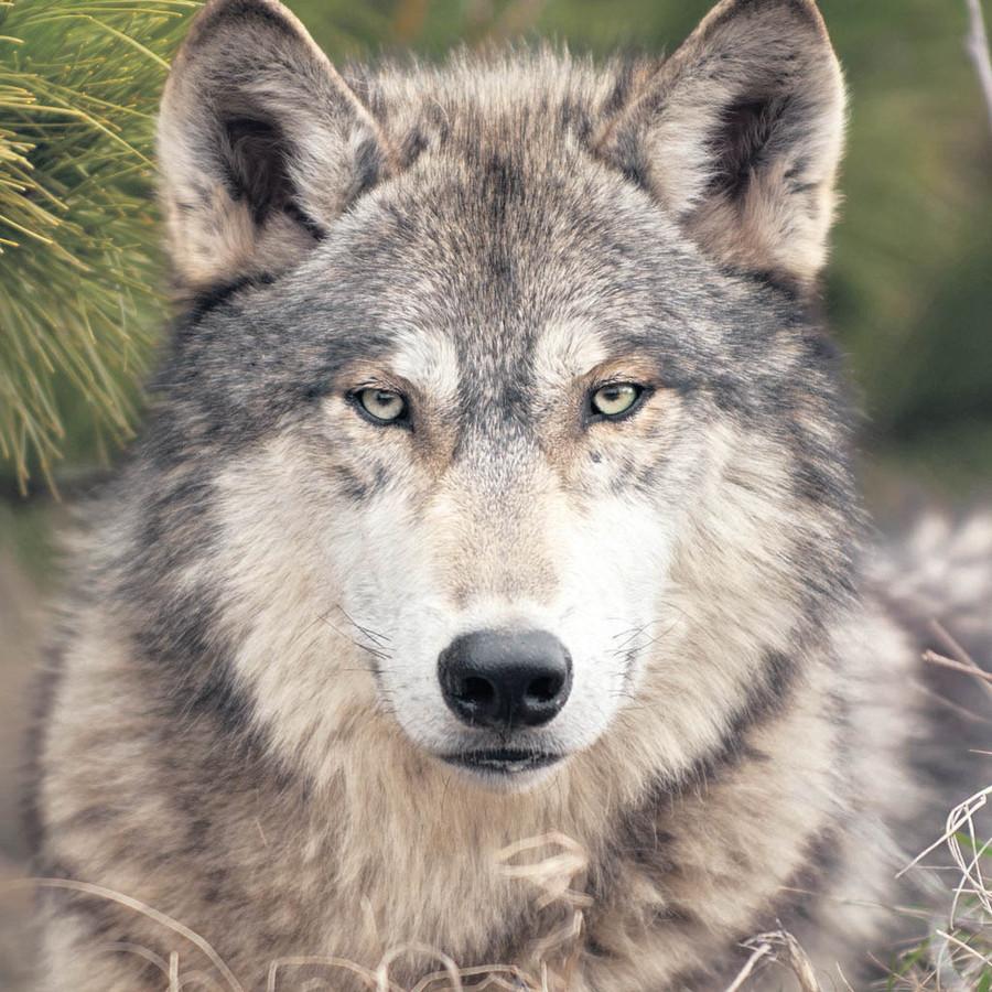 Normaal is een wolf schuw, maar in Drenthe loopt hij over straat.