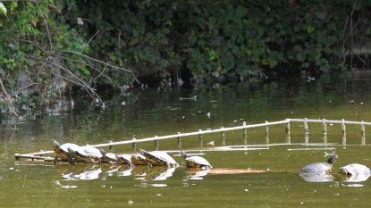 Dáár zijn de agressieve schildpadden weer