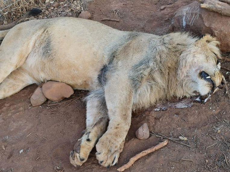 Stropers vergiftigden in totaal vijf leeuwen in het park.