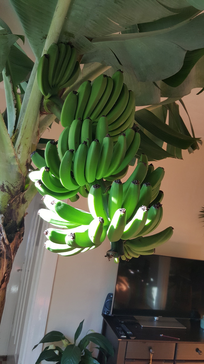 De bananenboom in volle glorie in de woonkamer van Bonne