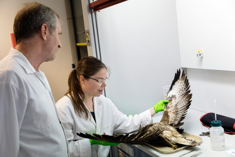 René Dekker (Biodiversiteistcentrum Naturalis) en Renda Remmerswaal bekijken een aangereden dode buizerd.