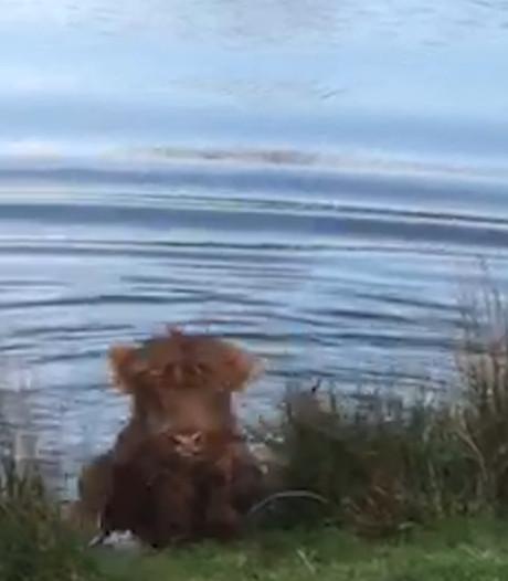 Juf Judy redt Schots hooglandertje uit water