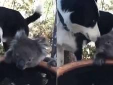 Vertederend beeld uit Australië: hond en koala zijn de beste maatjes