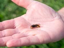 Dreischor om hulp gevraagd bij zoeken naar nest hoornaar
