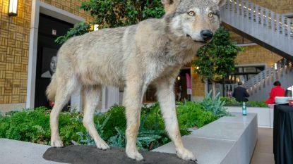 Doodgereden wolf Roger opgezet
