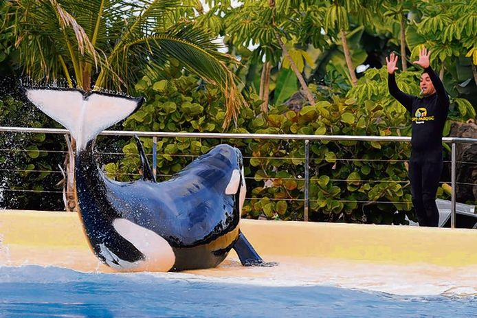 Orka Morgan aan het beachen op de slide-out in Loro Parque.