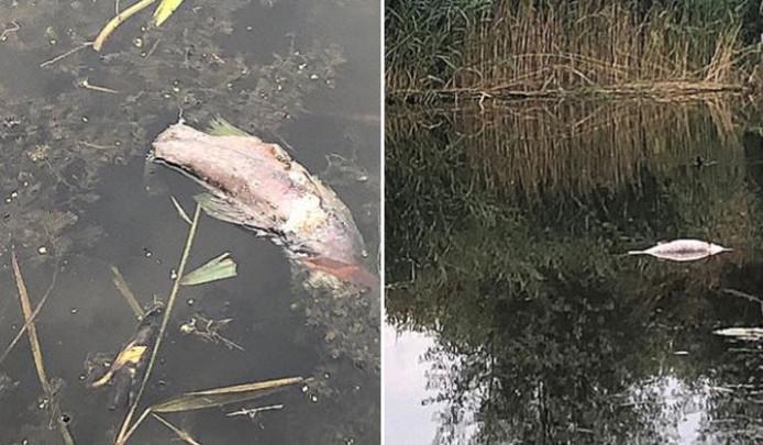 In juli werden er dode vissen aangetroffen in de sloot parallel aan de Gaarderstraat en de Klerkstraat in Delfgauw.