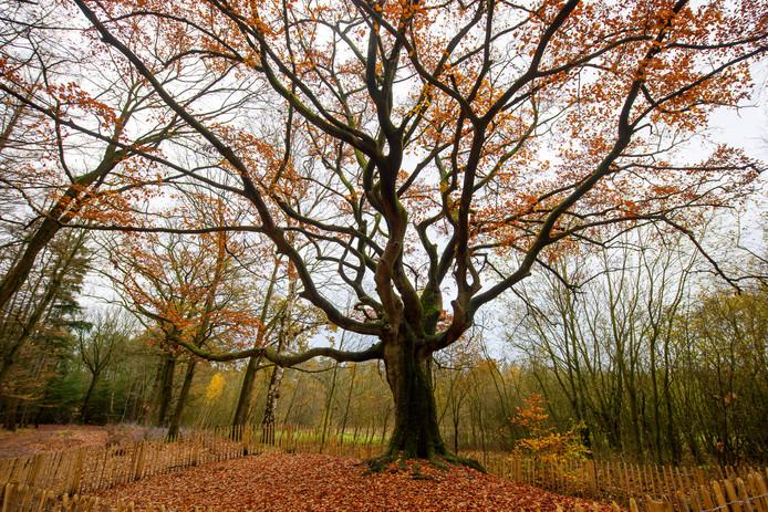 De Heksenboom in Bladel is gekozen tot Boom van het Jaar en gaat nu voor de volgende titel.