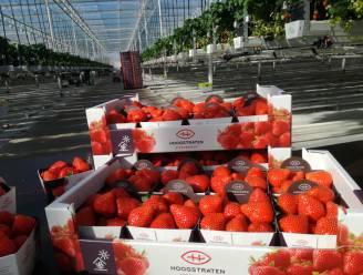 Topjaar voor de aardbei, minder jaar voor de tomaat: Coöperatie Hoogstraten boekt toch recordomzet