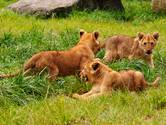 Pasgeboren drieling leeuwenwelpjes voor het eerst naar buiten