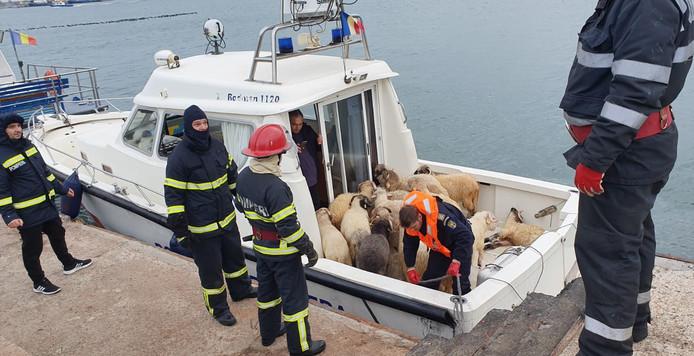 32 moutons ont pu être sauvés.