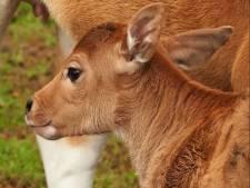 Babynieuws! Beekse Bergen verwelkomt opnieuw een met uitsterven bedreigde banteng