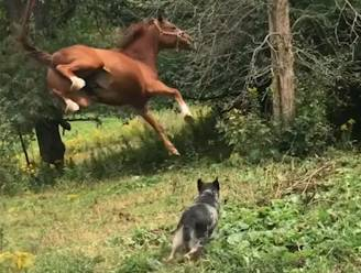 Smokey, wat doe je nu? Sprong van paard gaat hilarisch de mist in