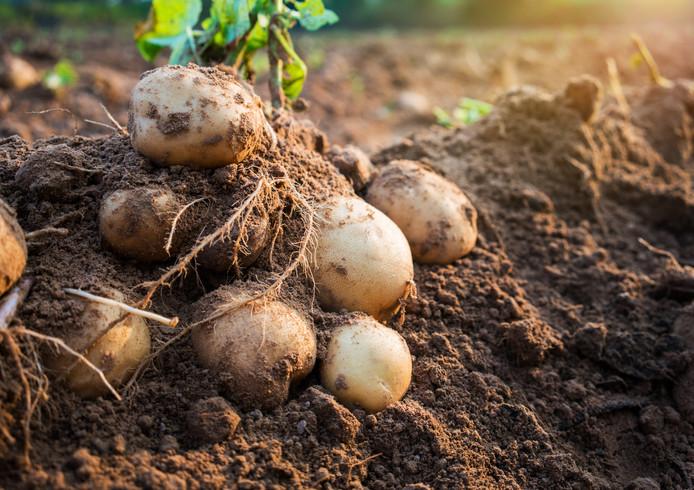 Aardappelen in het veld, foto ter illustratie