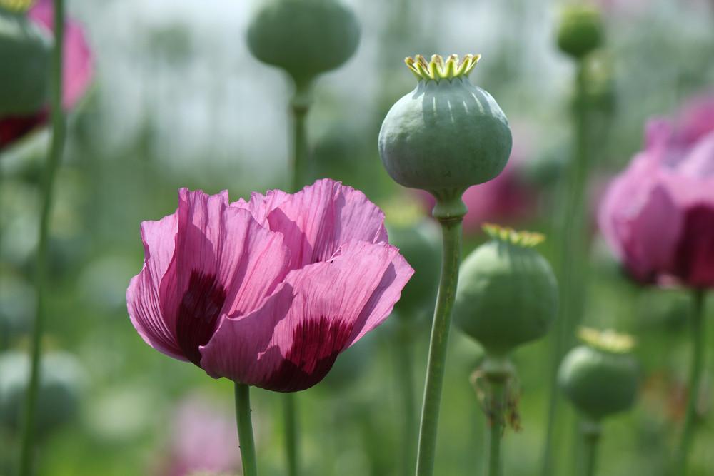 De opiumpapaver is een bloem die zorgt voor samenspel in de tuin.