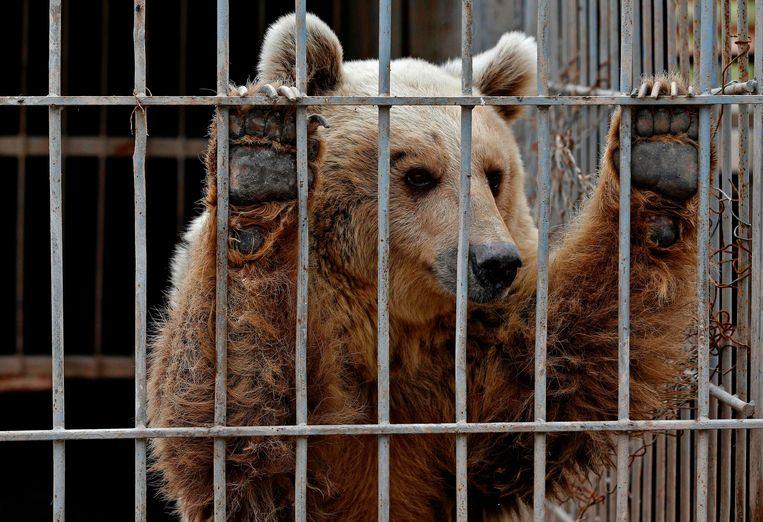 Lula de beer in haar kooi, voor ze geëvacueerd werd Beeld AFP