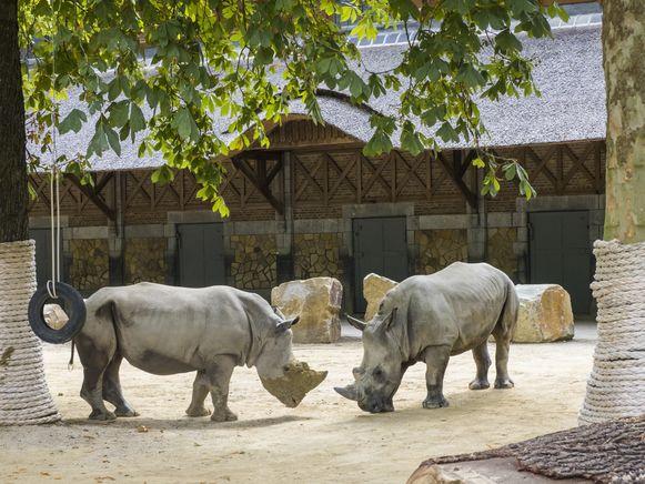 ZOO Antwerpen verwelkomt twee witte neushoorns, Timbo (3) en Amiri (3).
