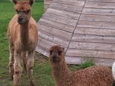 Bizar: twee alpaca's gestolen van Voorthuizense camping