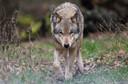 De wolf, hier in een wildpark in Duitsland.