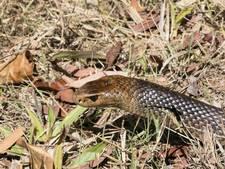 Dodelijk slangengif redt levens