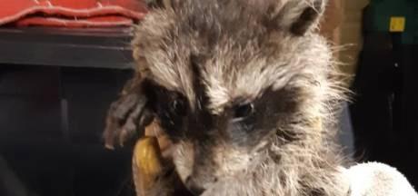 'Winterswijkse' wasberen maken het weer goed: 'Het waren twee zielige hoopjes'