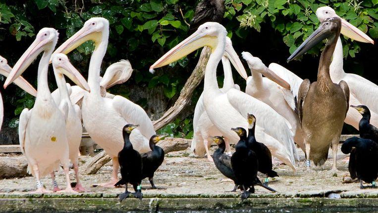 Pelikanen zoeken graag contact met mensen. Een extra hek moet dat voorlopig voorkomen. Beeld anp