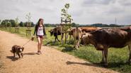 Rustig wandelen tussen nieuwsgierige koeien in Gentbrugse Meersen