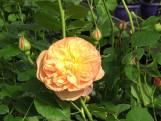 Een roos met de smaak van tropische vruchten, dat kan