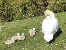 Vertederende beelden: eerste zwanenkuikens geboren in Brugge