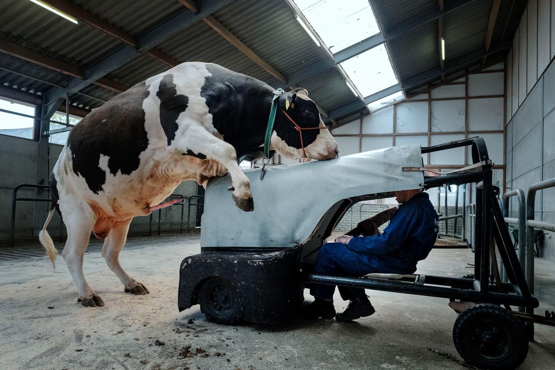 Een stier geeft sperma bij KI Samen.