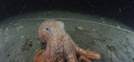 Hobbyduiker maakt unieke beelden van levende octopus in Noordzee