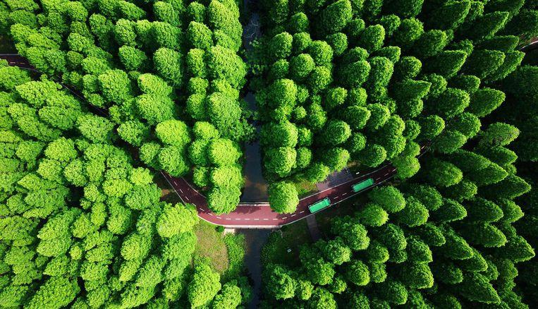 Het aangeplante Yellow Sea National Forest Park in Dongtai, China. Beeld AFP