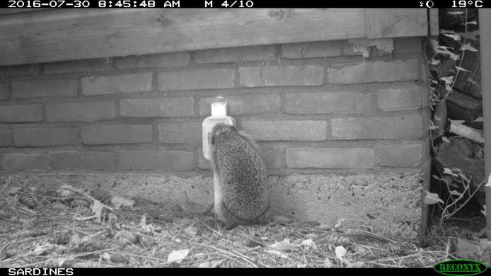 Een egeltje komt in de nacht snoepen van een voerpotje bij een van de wildcamera's die IVN in de stad monteert in achtertuinen.