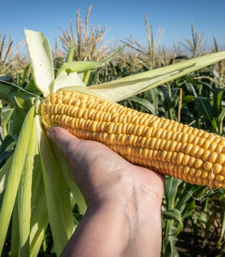 Waterschap gaat deeltjes uit rioolwater gebruiken als mest voor mais