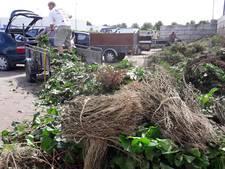 Kaalgevreten tuinen in Oss en Veghel na oprukken buxusmot