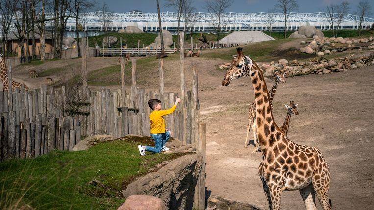 Dit jongetje stapte over de lage afrastering en naderde de giraffe op een meter. Beeld reyer boxem