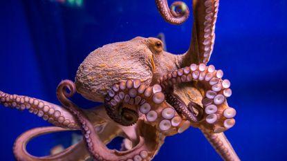Net als mensen: octopussen willen knuffelen na inname van ecstasy