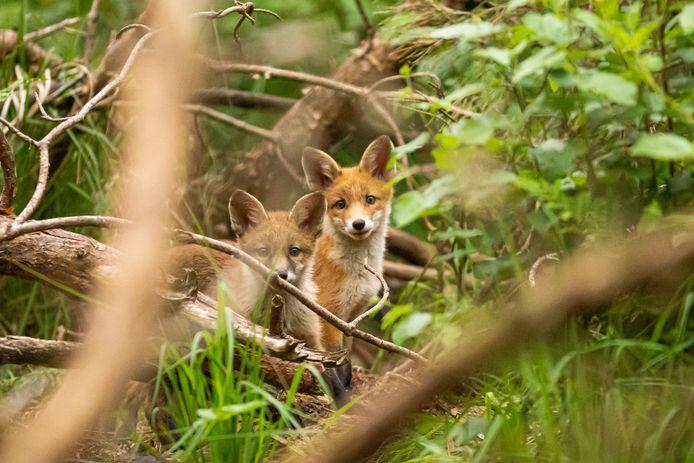 Nieuwsgierige vosjes komen steeds meer de stad in,  zeker nu er door de coronamaatregelen minder mensen op straat zijn.